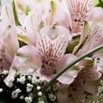 piękny kwiat różowy tło astromeria — Zdjęcie stockowe #1549215