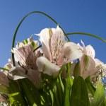 różowy kwiat astromeria — Zdjęcie stockowe