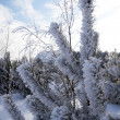 Frost on pines — Stock Photo #1660354