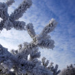 Stock Photo: Frost on pines