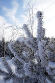 Frost on pines — Stock Photo
