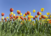 System of tulips — Stock Photo