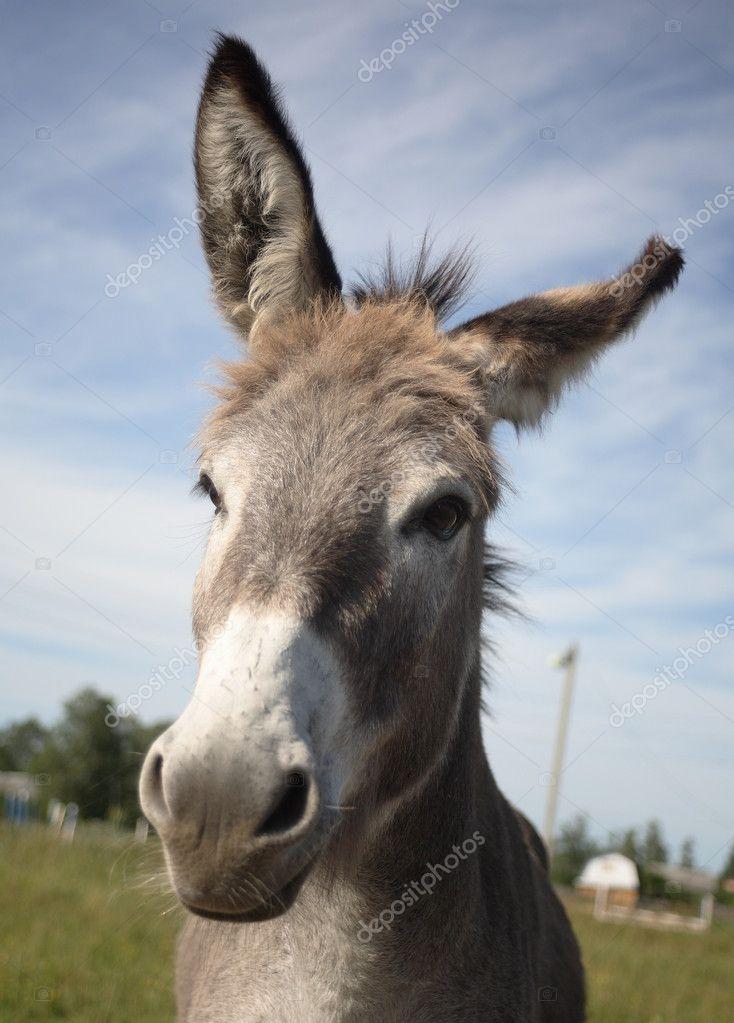 head of donkey � stock photo 169 vikulin 1106616