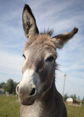Head of donkey — Stock Photo