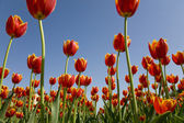 System of tulips System of tulips — Stock Photo