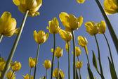 Yellow tulips — Stock Photo