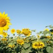 Stock Photo: Blooming sunflower field