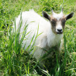 Stock Photo: White goat on a background