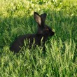 Stock Photo: Black amusing rabbit