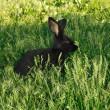 Black amusing rabbit — Stock Photo
