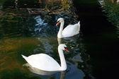 White swan on to the pond — Stock Photo