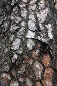 De schors van de pijnboom van textuur van hout — Stockfoto