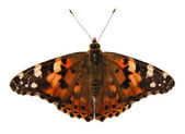 Butterfly, (isolated) (Cynthia cardui) — Stock Photo