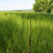 Green wheat field — Stock Photo #1489184