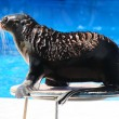 Fur Seal performing at Circus — Stock Photo