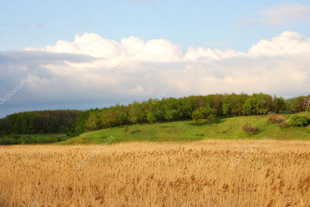 Sedge on a background the forest and cloudy sky — Stock Photo #1489032
