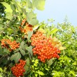 Stock Photo: Bunch of red viburnum tree