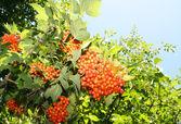 Bunch of red viburnum tree — Stock Photo