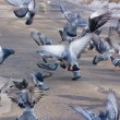 Royalty-Free Stock Photo: Pigeons on wing