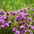 Stock Photo: Woodland thyme