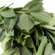 Stock Photo: Bay leaf
