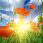 Deep in poppies feld — Stock Photo