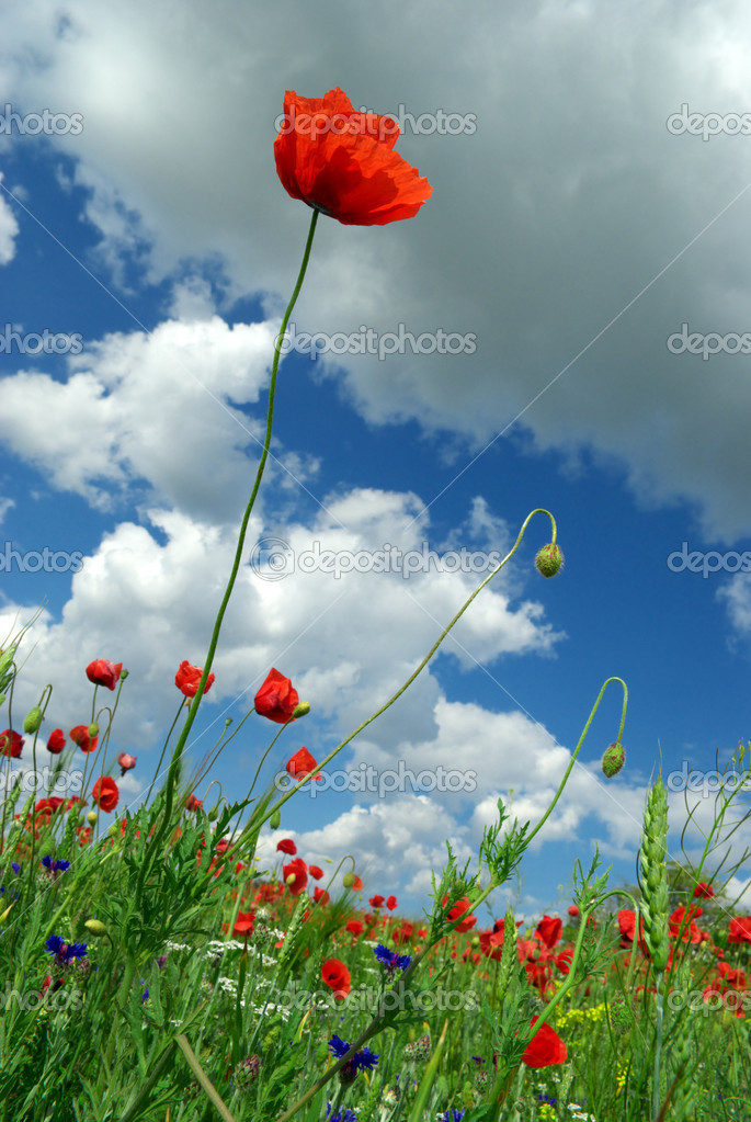 Poppy and sky. Nature composition. — Stock Photo #1114123