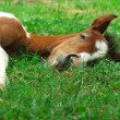 Sleeping foal — Stock Photo #1126019