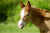 Foal portrait — Stock Photo