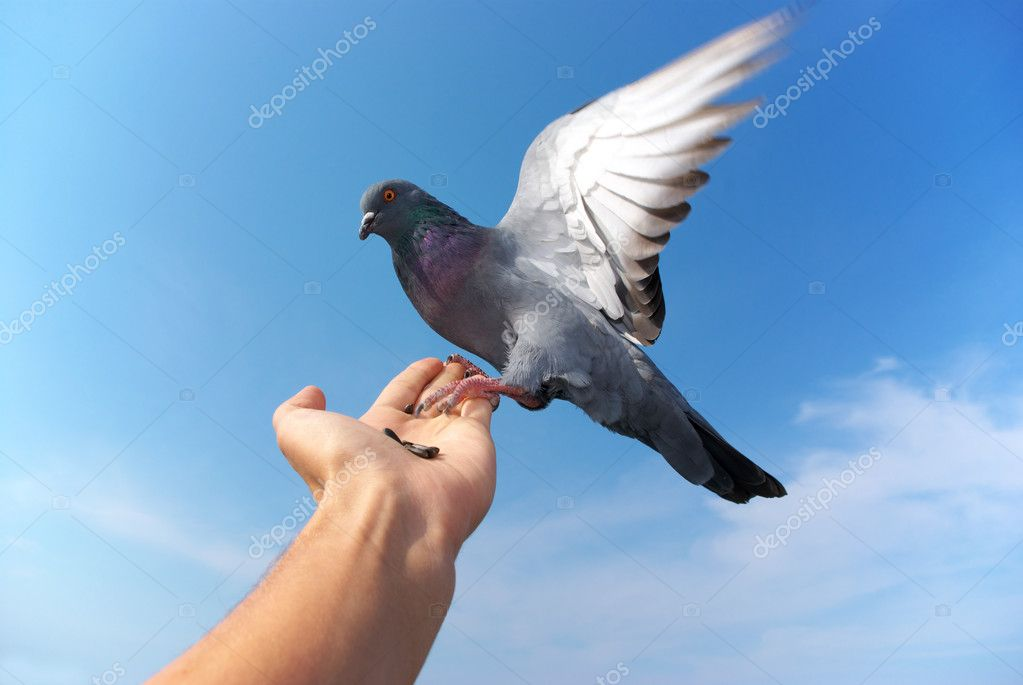 Pigeon on hand. Element of design. — Stock Photo #1125806