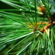 Stock Photo: Wet spruce