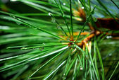 Wet spruce — Stock Photo