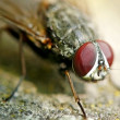 Macro fly — Stock Photo #1170983