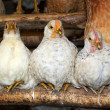 Three chickens — Stock Photo
