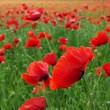 Big poppy meadow — Stock Photo #1292130