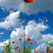 Leader of poppies — Stock Photo