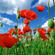 Deep in poppies feld — Stock Photo