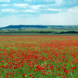 Big poppy meadow — Stock Photo