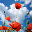 In poppies — Stock Photo