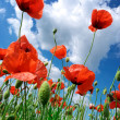 Stock Photo: Poppies composition