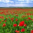 Greatest poppies meadow — Stock Photo