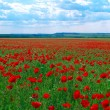 Contrast poppy meadow — Stock Photo #1456203