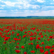 Contrast poppy meadow - Stock Photo