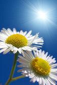 Two daisywheels — Stock Photo