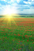 Deep poppy meadow — Stock Photo