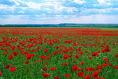 Contrast poppy meadow — Photo