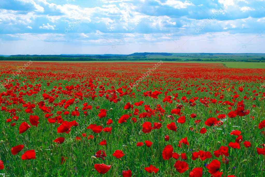 Contrast poppy meadow. Nature composition. — Stock Photo #1456203