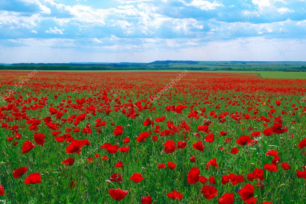 Contrast poppy meadow � Stock Photo � zatvor #1456203