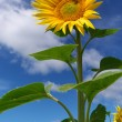 Big sunflower — Stock Photo #1533593