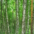 Texture of birch wood — Stock Photo